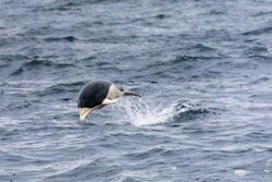 Jumping Southern right whale dolphin in the Strait of Magellan, Patagonia, Chile