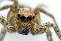 Jumping spider close up