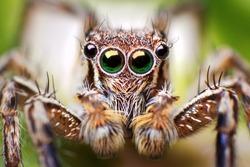 Jumping Spider close up shot