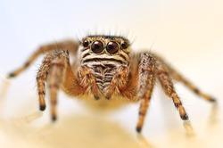 Jumping spider Evarcha arcuata