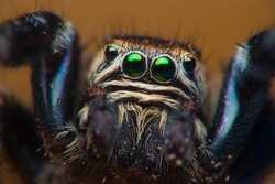 Jumping spider face close up.  Macro photography