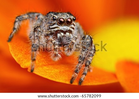 Jumping spider from Turkey - stock photo