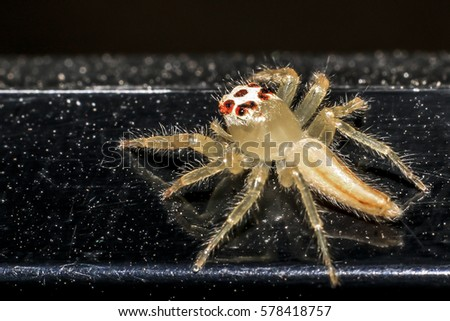 Jumping spider gold on black background. #578418757