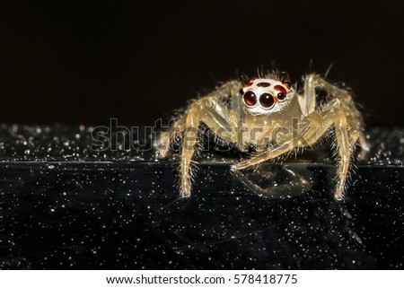 Jumping spider gold on black background. #578418775