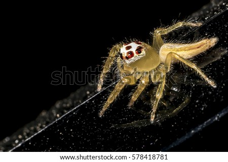 Jumping spider gold on black background. #578418781