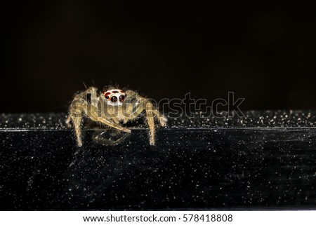 Jumping spider gold on black background. #578418808