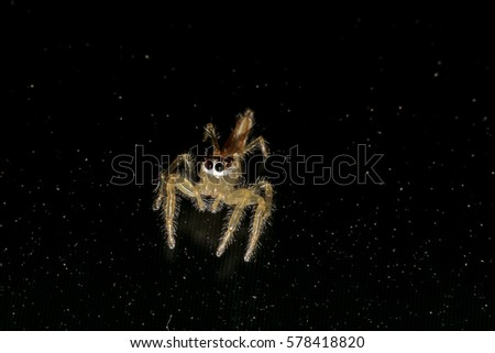Jumping spider gold on black background. #578418820