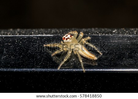 Jumping spider gold on black background. #578418850