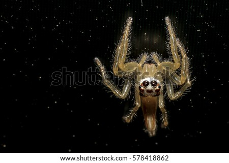 Jumping spider gold on black background. #578418862