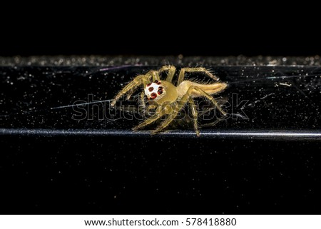 Jumping spider gold on black background. #578418880