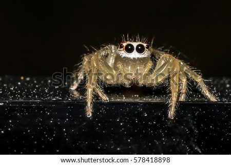 Jumping spider gold on black background. #578418898