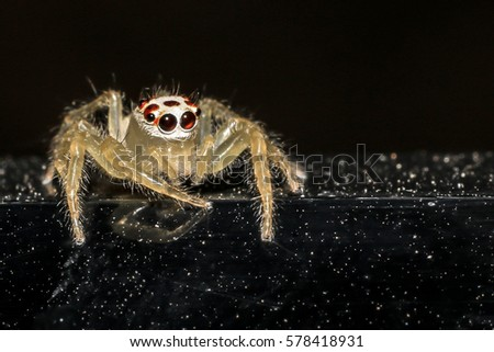 Jumping spider gold on black background. #578418931