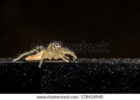 Jumping spider gold on black background. #578418940