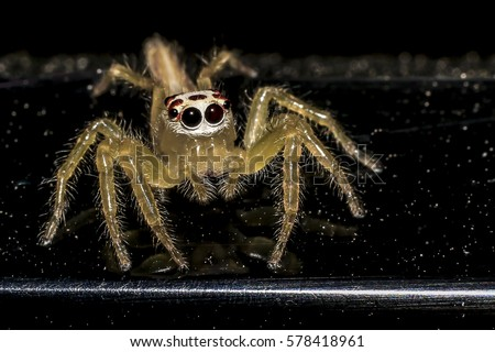 Jumping spider gold on black background. #578418961