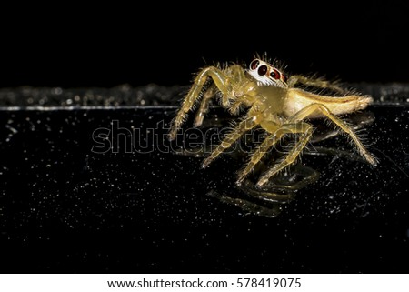 Jumping spider gold on black background. #578419075