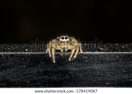 Jumping spider gold on black background. #578419087