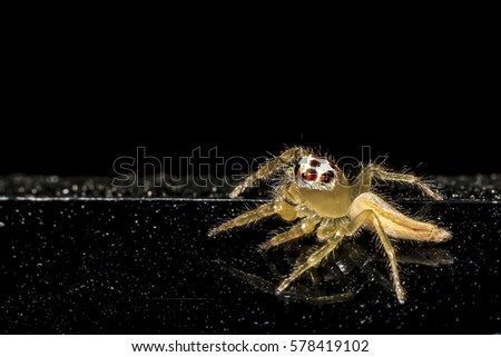 Jumping spider gold on black background. #578419102