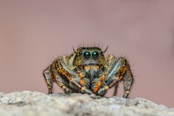 Jumping Spider Hyllus, Spider in Thailand Beautiful background