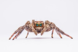 jumping spider isolated on white background.