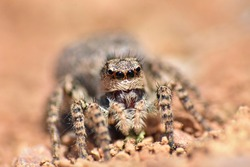 Jumping spider. Little jumping spider with big eyes on the ground