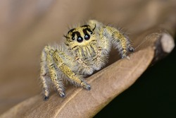 Jumping Spider, macro close-up photography jumping spider with blur background