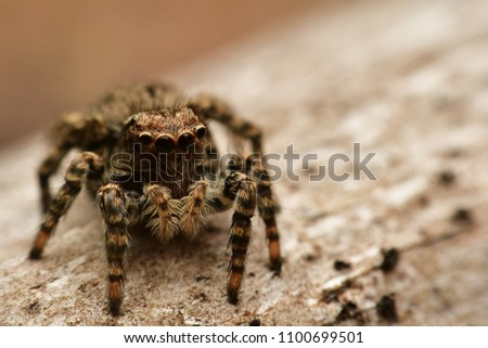 Jumping spider ,macro picture background ,spider in Thailand.close up of jumping spider.