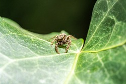 Jumping Spider (Marpissa Muscosa) on a plant leaf, hesse, germany