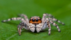 jumping spider name is Menemerus bivittatus