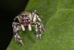Jumping Spider on leaf extreme close up - Macro photo of jumping Spider on leaf
