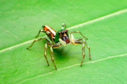 Jumping spider on leaf green background