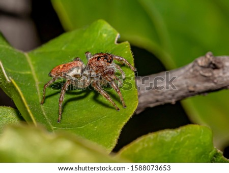 Jumping Spider on the Leaf Foto stock ©