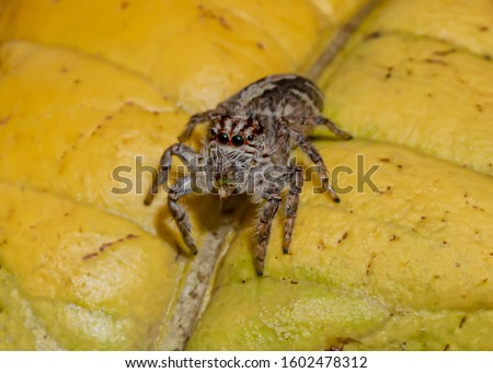Jumping Spider on the Yellow Leaf Foto stock ©