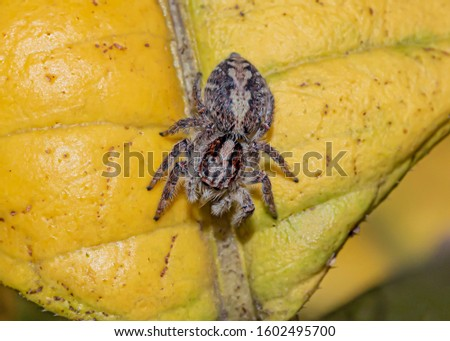Jumping Spider on the Yellow Leaf - view from above Foto stock ©