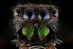 Jumping Spider, Phidippus Regius on black background. Mega macro shot.