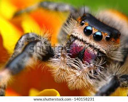 Stock Photo Jumping spider Phidippus regius with nice colorful background