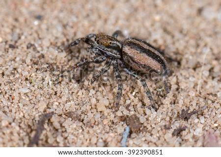 Jumping Spider (Phlegra fasciata) female in nature #392390851