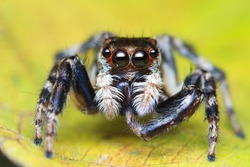 Jumping Spider Scratching his foot