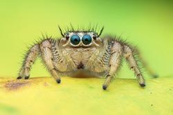Jumping spider shots in Vietnam