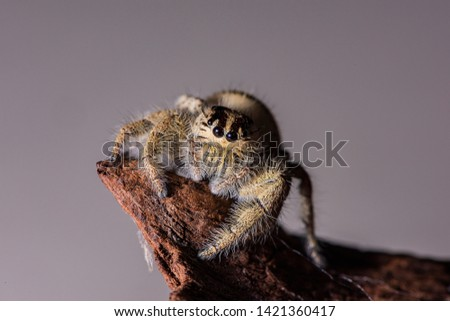 jumping spider sitting on a branch with studio light. A colorful exotic invertebrate species on a close up horizontal picture.