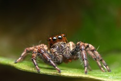 Jumping Spider, Spider in Thailand