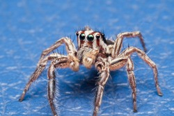 Jumping spiders is a group of spiders in the family Salticidae, which is considered to be the most populous spider family. There are more than 5,000 species.
