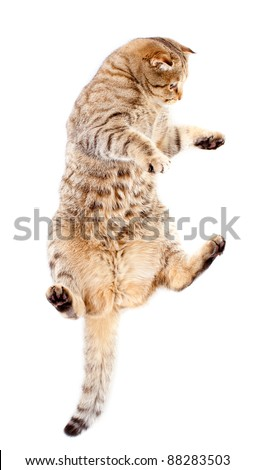 jumping tabby-cat, isolated on white