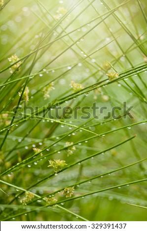 Juncus effusus in rain and sunlight, UK, summer.