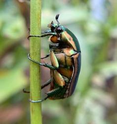 June Bug, North Carolina Summer, Green Beetle, Macro CLOSE UP