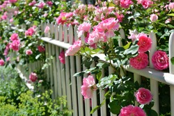 June garden. Climbing pink roses on white fence