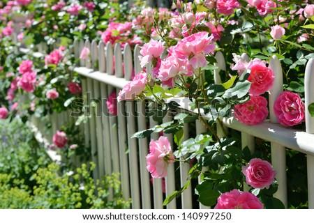 June garden. Climbing pink roses on white fence