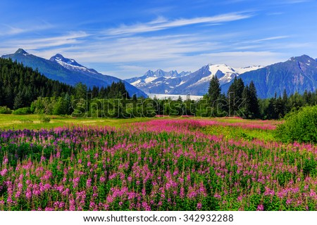 Stock Photo Juneau, Alaska. Mendenhall Glacier Viewpoint with Fireweed in bloom.