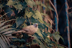 Jungle babbler (Turdoides striata) is a gregarious bird and lives mostly at the lover part of the forest (or you can say mostly near around ground level)