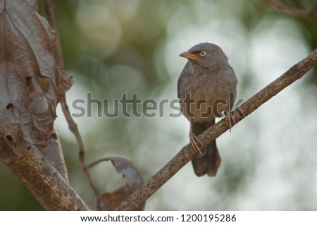 Jungle babbler (Turdoides striatus). Sasan Gir. Gujarat. India.