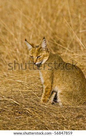 Jungle cat in the grasses  in Ranthambore national park